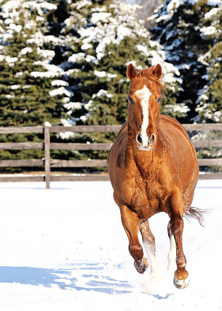 Horse in Snow Running Directly at Camera stock photo