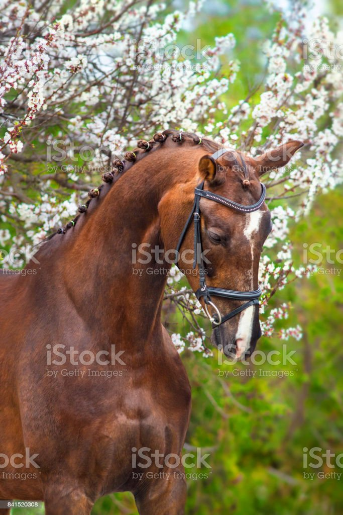 Horse in spring blossom stock photo