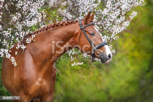 A beautiful red horse with a braided mane and in a bridle stands opposite a blossoming apricot tree