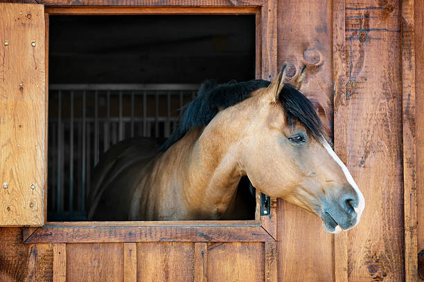 Horse in stable Curious brown horse looking out stable window stable stock pictures, royalty-free photos & images