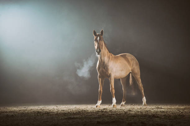 Horse in the fog Horse running in the fog. Silhouette photo of a backlight horse. working animal stock pictures, royalty-free photos & images