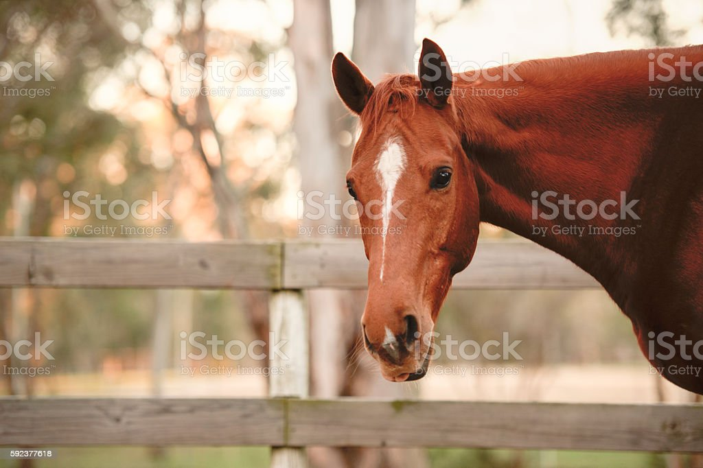 Horse in the paddock stock photo