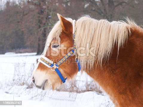 istock Horse In The Snow 1289350742