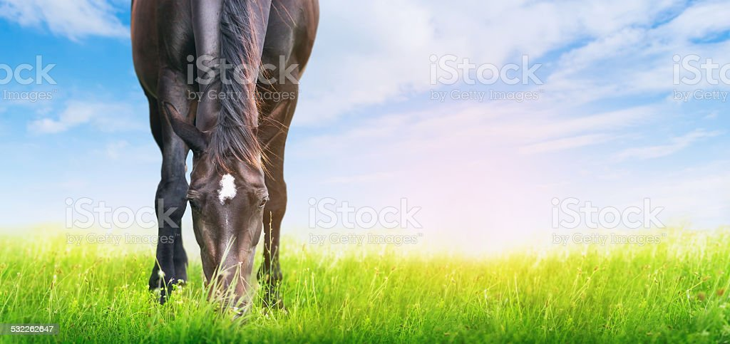 horse is grazed on sunny meadow , banner for website stock photo