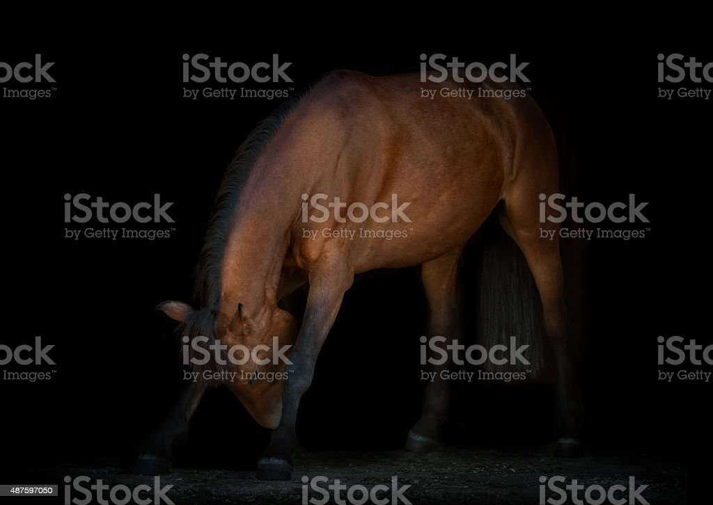 horse is making reverence, black background stock photo