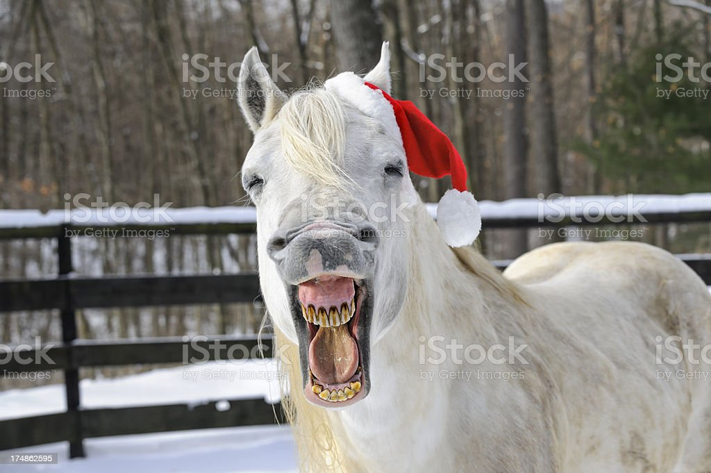 Horse Laughing Wearing Santa Christmas Hat, Front View stock photo