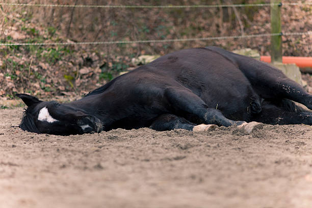 horse lay down on side to sleep stock photo