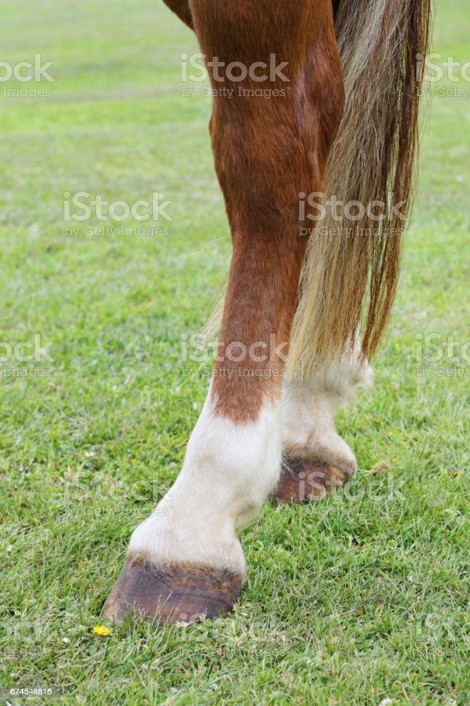 Horse Left Hind Hoof With Cannon Bone Pastern And Fetlock Stock ...