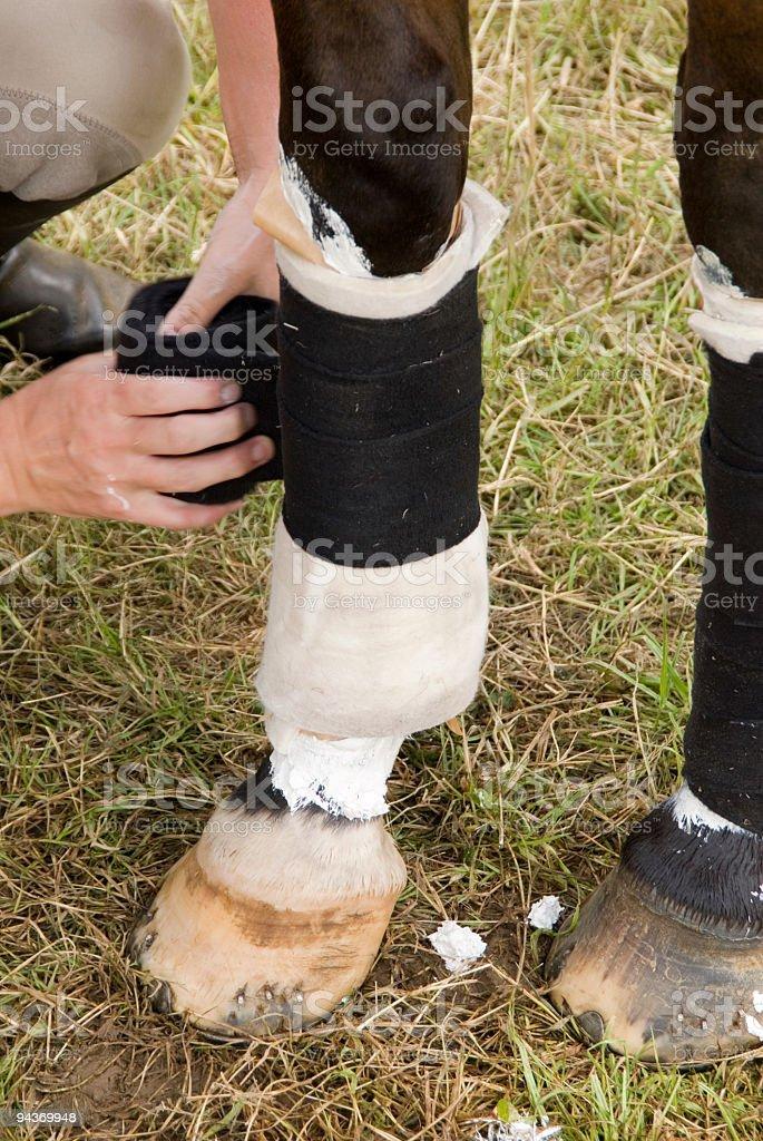 Horse leg with bandages royalty-free stock photo