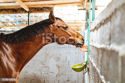 Horse licking salt block