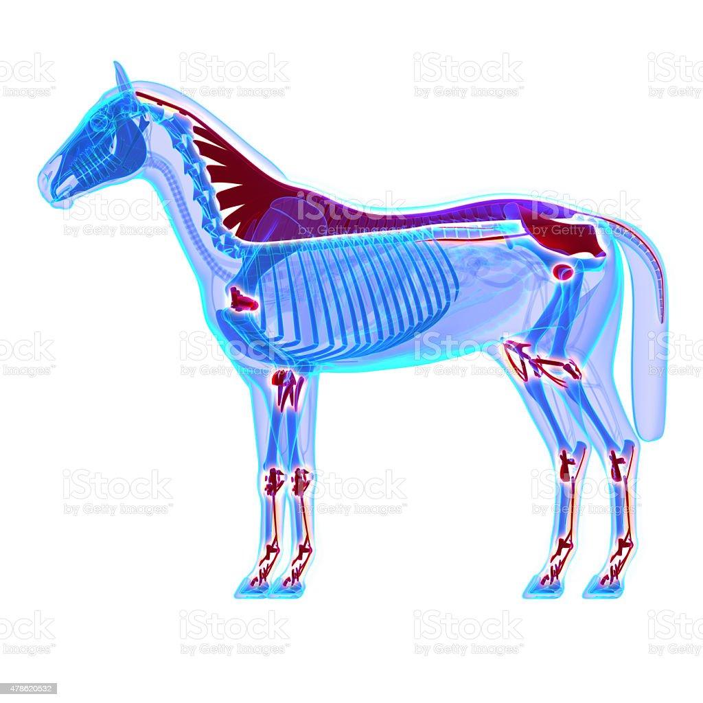 Horse Bänder Und Gelenke Und Sehnenhorse Equus Anatomie Stock ...