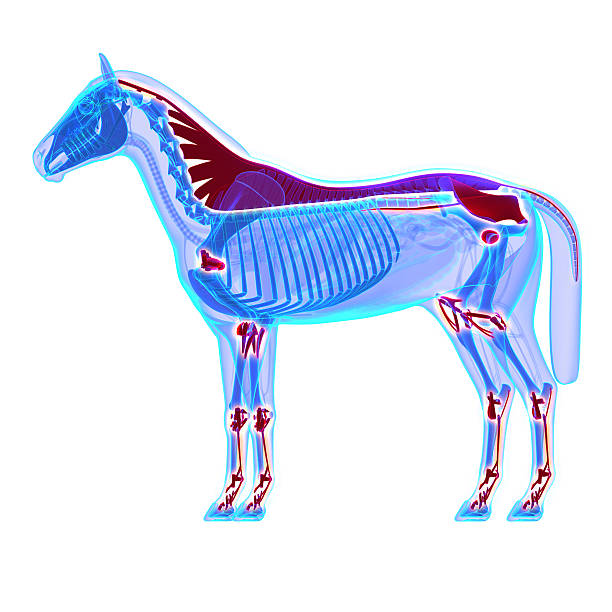 Horse ligaments and joints tendons horse equus anatomy picture id478620532?b=1&k=6&m=478620532&s=612x612&w=0&h=y3dgxn vy2lik2gztm2hkh84tqwdko9nbhgcxw4n4pw=