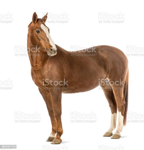 Horse looking at camera in front of white background picture id824257724?b=1&k=6&m=824257724&s=612x612&h=92djbauqn3qhv0kw6jy 2yyv6w2awqtbrgyziejya2q=