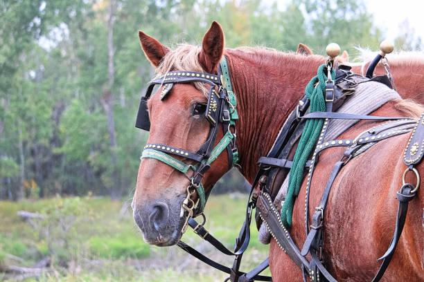 ein blick zurück, während sich spannte pferd - scheuklappe stock-fotos und bilder