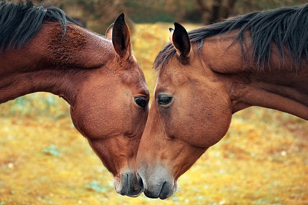horse love and tenderness - fohlen stock-fotos und bilder