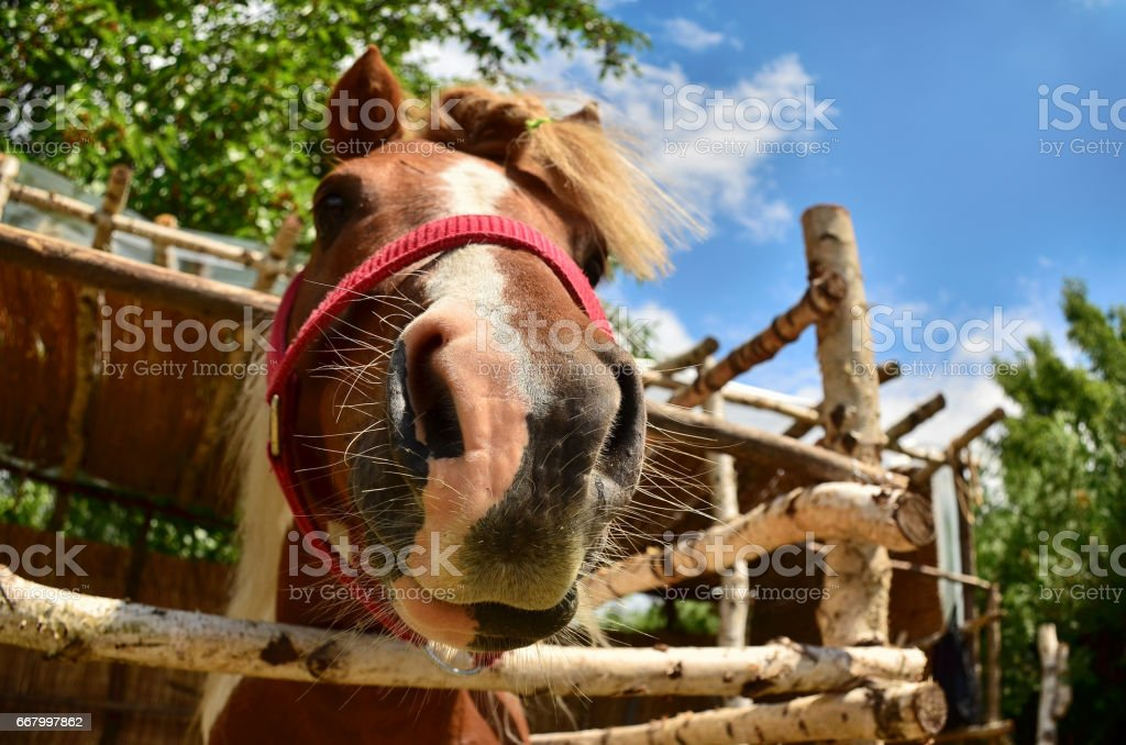 Horse making faces stock photo