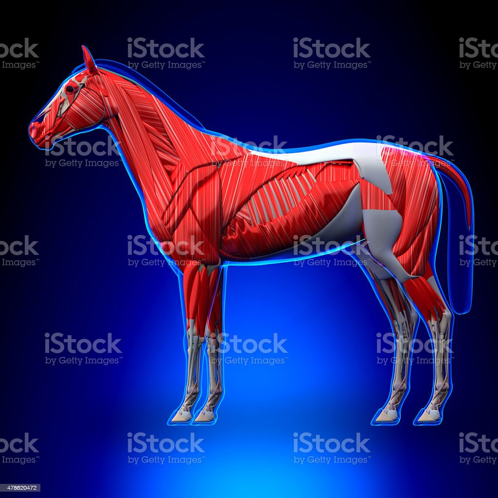 Horse Muscles - Horse Equus Anatomy - on blue background stock photo