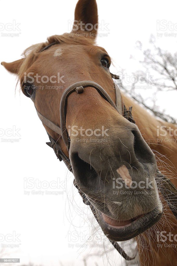 Horse Muzzle royalty-free stock photo