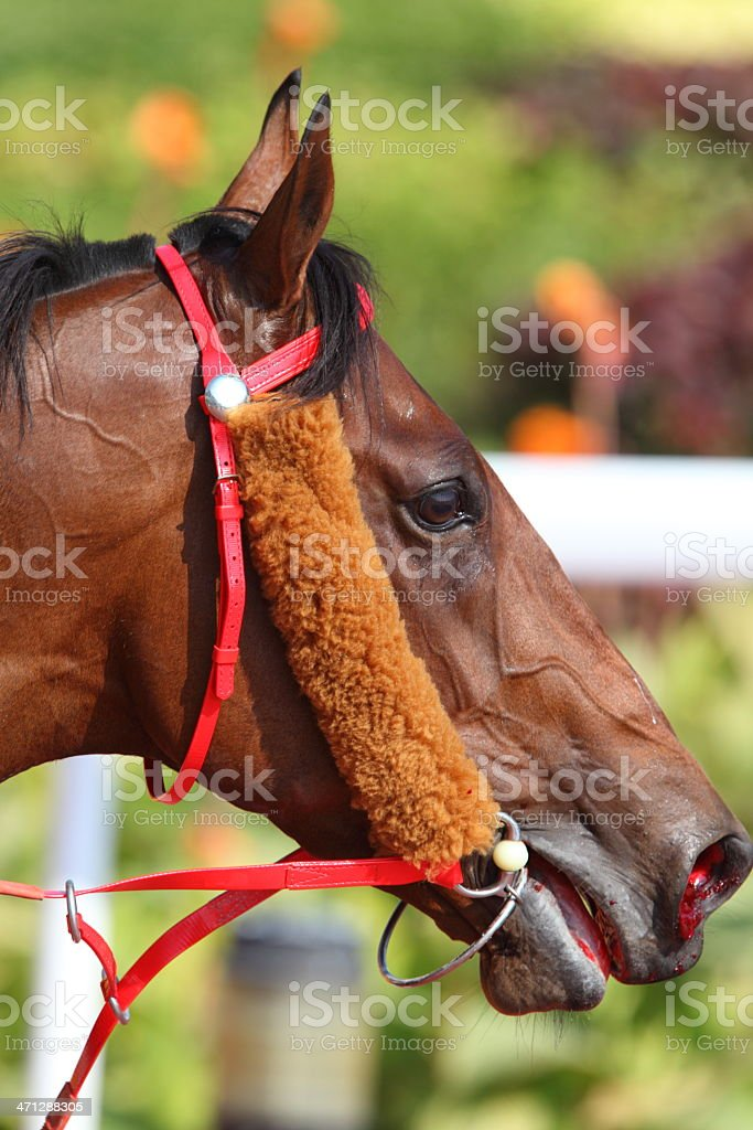 Horse nose with blood stock photo