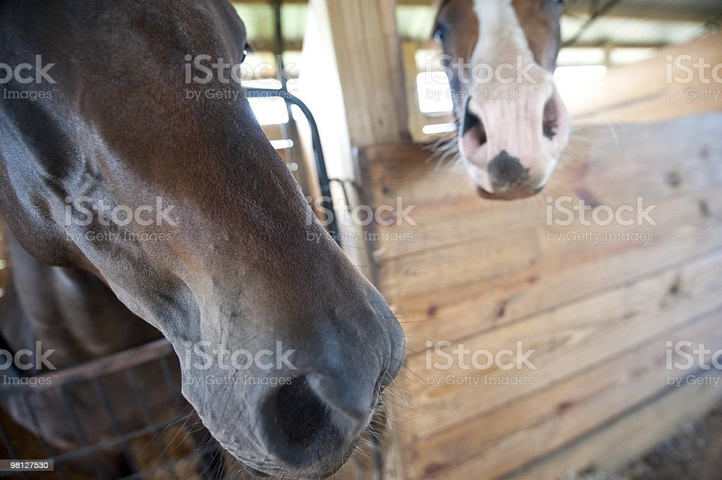 Horse Noses royalty-free stock photo