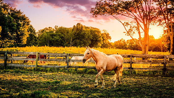 Horse of a farm Beautiful palomino horse running across the pasture at sunset palomino stock pictures, royalty-free photos & images