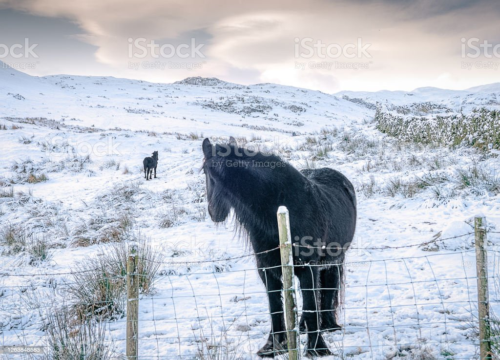 Horse of the lakes English Lake District horse and ponies Animal Stock Photo