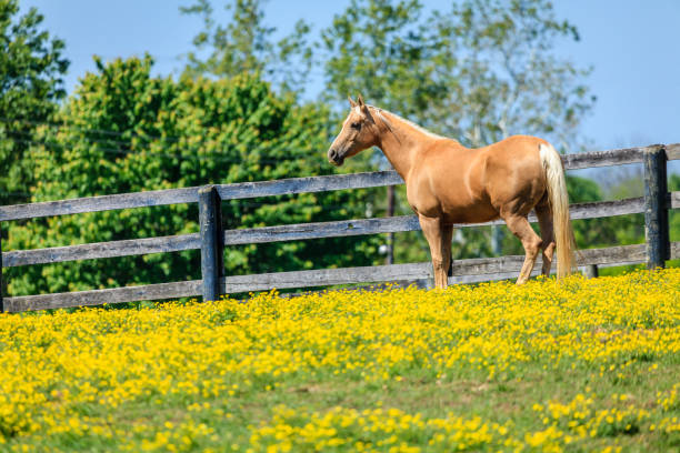 Horse on a farm Beautiful palomino mare on a farm in Central Kentucky palomino stock pictures, royalty-free photos & images