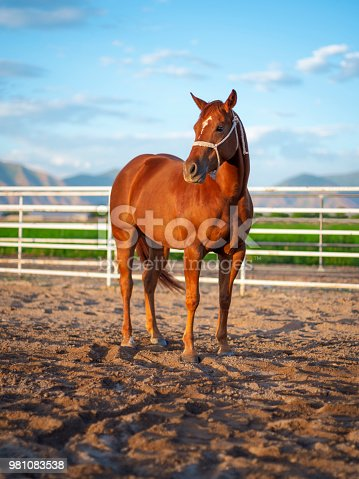 A quarter horse standing against a white rail fence with mountains in the background. Utah, USA.