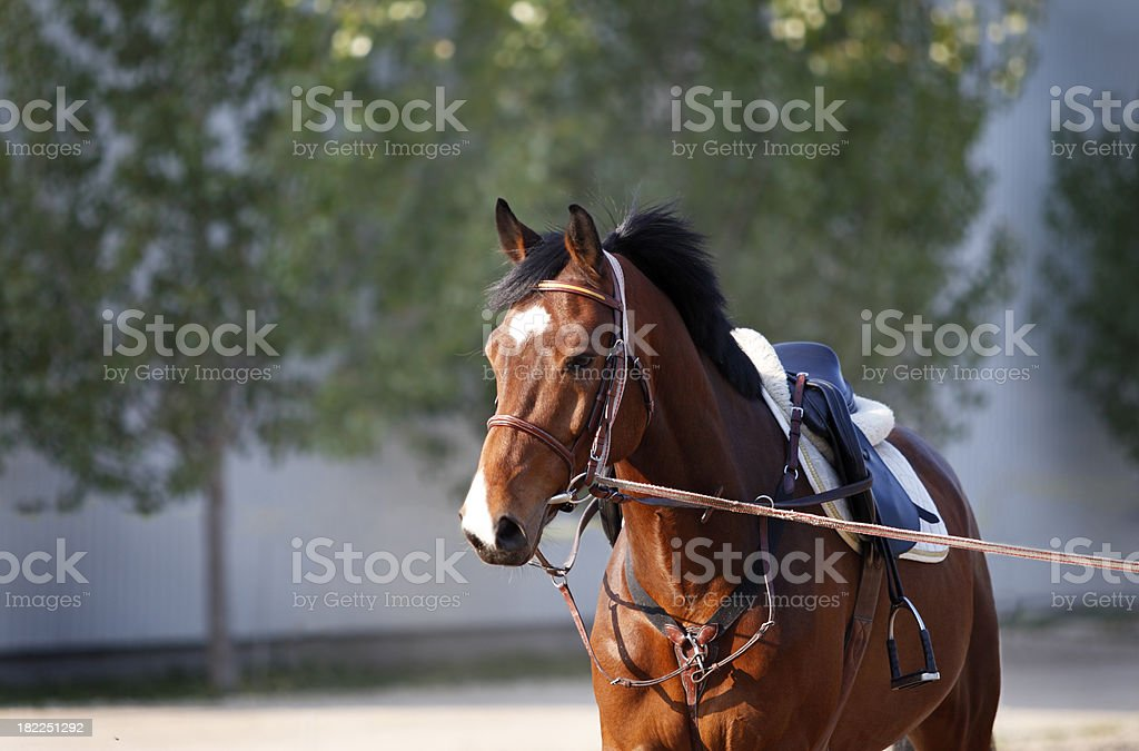 Horse on lunge royalty-free stock photo