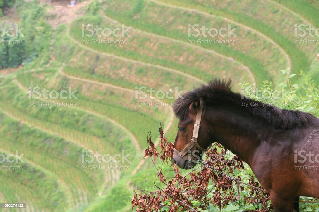 Horse overlooking the Longji Terraced Rice Fields, China. stock photo