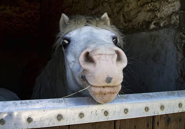 horse park mit gelegentlichen einblicken in stabiler tür, lächeln - lustige pferde stock-fotos und bilder