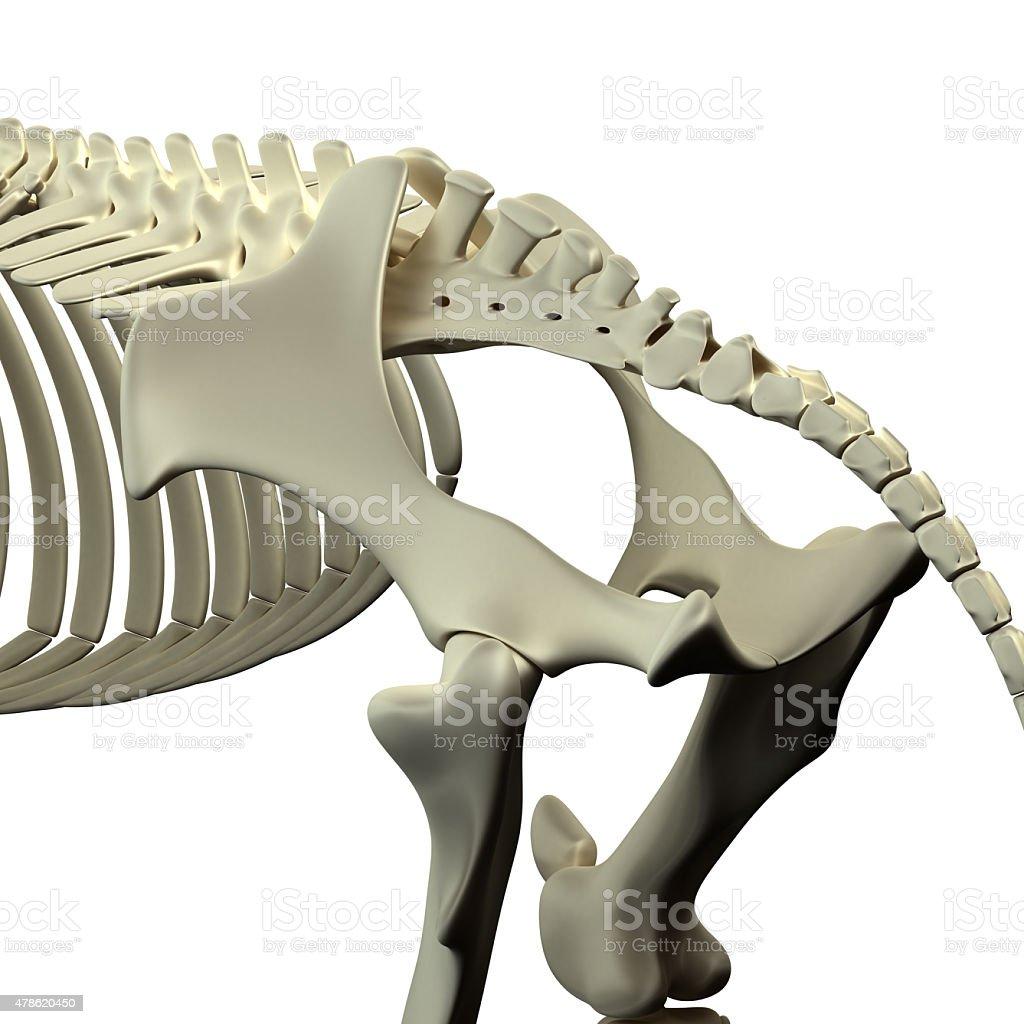Fotografía de Horse Pelviscaballo De Anatomía Equusaislado En Blanco ...