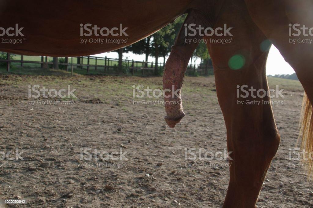 Horse Penis Stock Photo