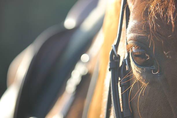 horse - hästhoppning bildbanksfoton och bilder