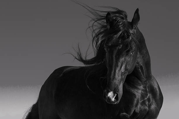 horse Black stallion stallion stock pictures, royalty-free photos & images