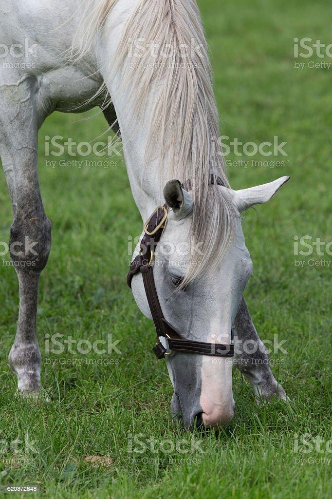 Koń  zbiór zdjęć royalty-free