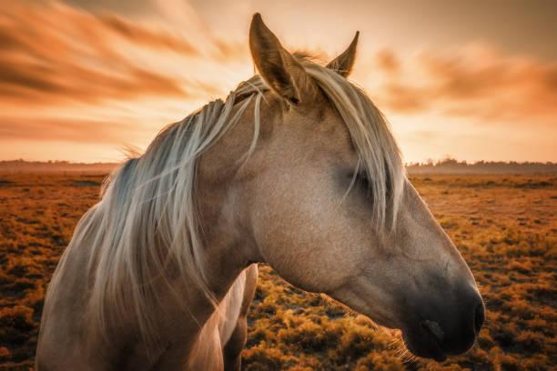 Pferd-Portrait bei Sonnenuntergang in Nordkalifornien. – Foto