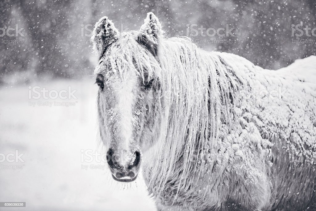 Horse Portrait In Winter Snow Storm Black And White stock photo