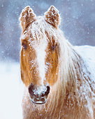 istock Horse Portrait In Winter Snow Storm 639539346