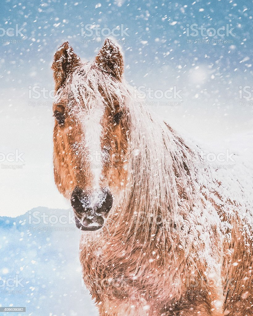 Horse Portrait In Winter Snow Storm stock photo