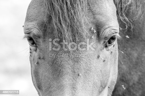 A beautiful horse surrounded by flies. Portrait in black and white