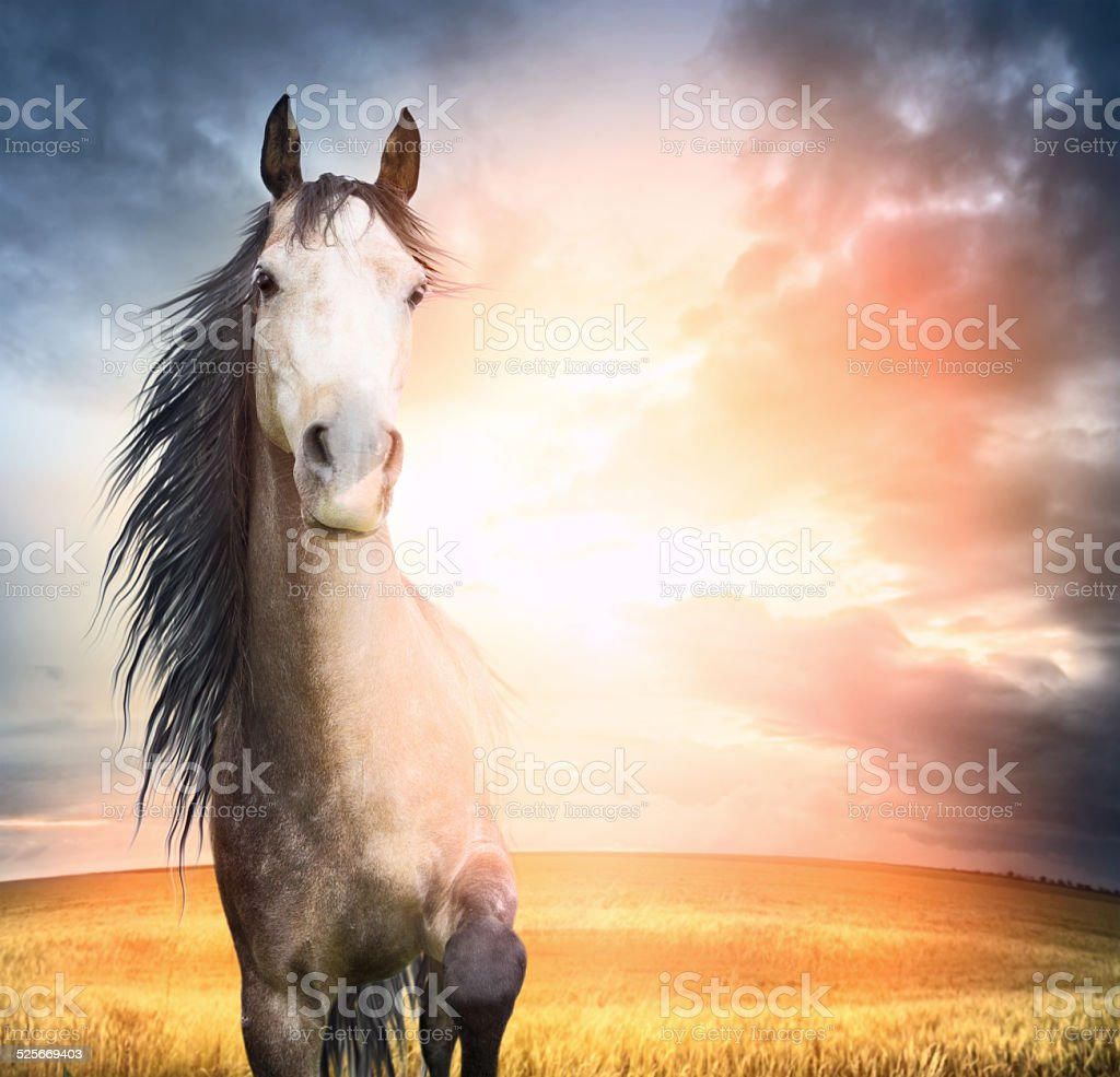 horse portrait  with  mane and raised leg in sunset light stock photo
