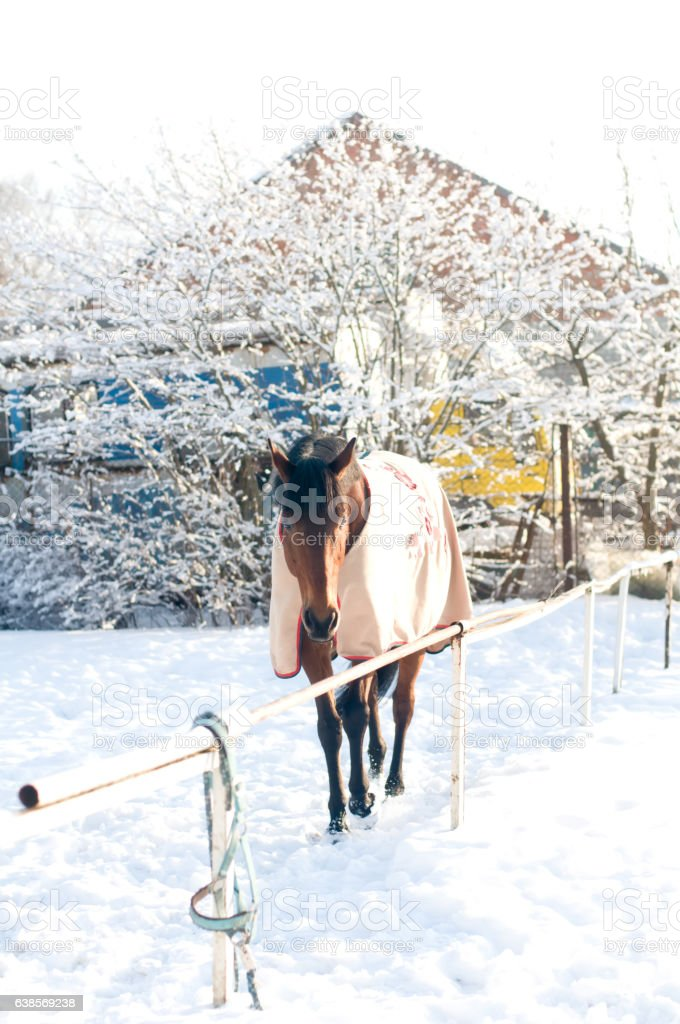 Horse portrate bay color in winter stock photo