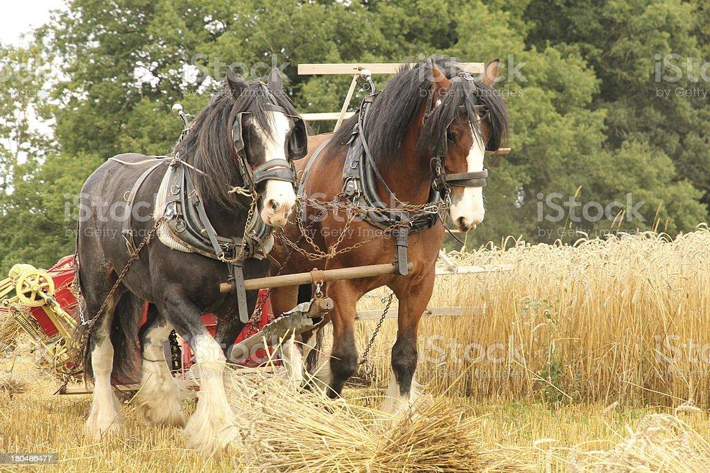 Horse powered harvesting stock photo