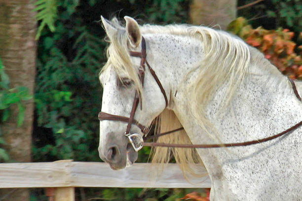 Horse profile bust portrait Andalusian horse portrait in fenced paddock. appaloosa stock pictures, royalty-free photos & images