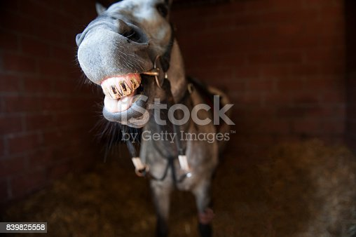 istock Horse pulls a funny face in the stable 839825558