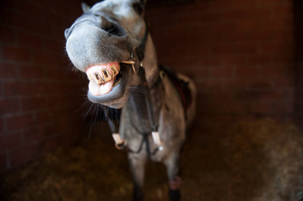 horse pulls a funny face in the stable - horse bit stock photos and pictures