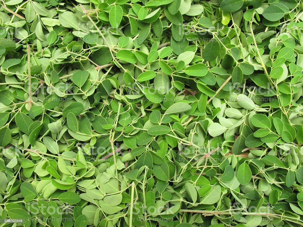 Horse radish leaves stock photo