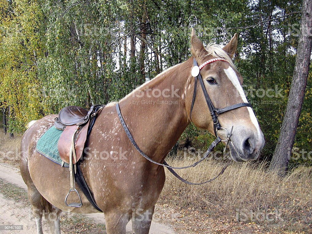 horse ready to go royalty-free stock photo