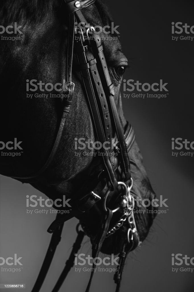 Horse Rider Saddle Up The Thoroughbred Horse For Dressage Or Equestrian Race Stock Photo Download Image Now Istock